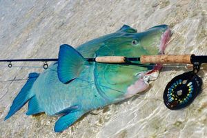 Bumphead Parrotfish — Julien Derozier