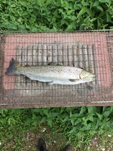 Sea Trout — Stan' Kohler