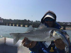 European Bass — Nzé Jeremy Guide de pêche