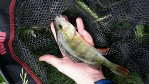 European Perch — Trouts Addict