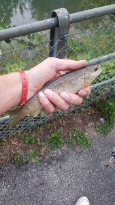 Brown Trout — Lionel Thomet