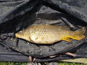 Common Carp — Jonathan Maire