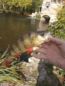 European Perch — Bęņbęņ Éşşémę