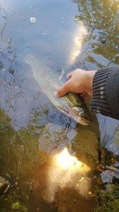 Rainbow Trout — Robin Monkey Fishing