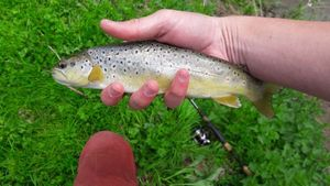 Brown Trout — Wilhelm Picault