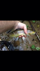 Brown Trout — Loic Combes