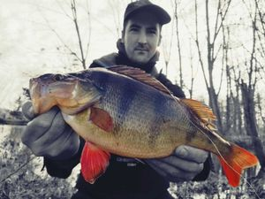 European Perch — Steve Guerin