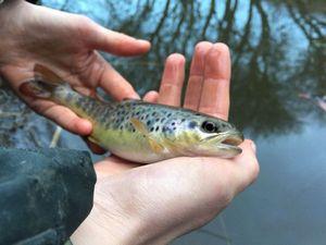Common Trout — Myrddyn Nicolas