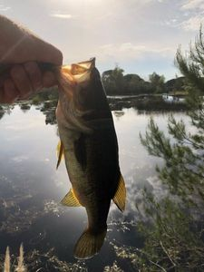 Largemouth Bass — Laurent Fiorio