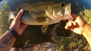 Largemouth Bass — Hao Pecheur