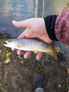 Brown Trout — Nicolas flyfishing