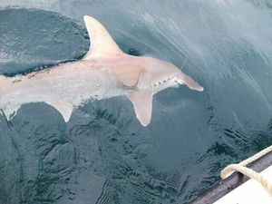 Great Hammerhead Shark — Chris Panama