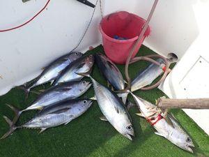 Southern Bluefin Tuna — tony barotin