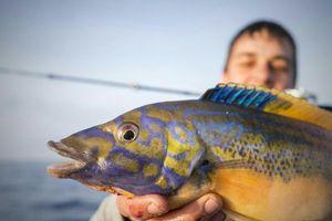 Axillary Wrasse — Samuel Elgrishi Moniteur et Guide de pêche