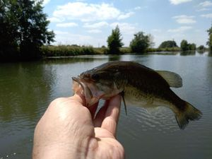 Smallmouth Bass — Sébastien Michel