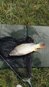Common Carp — Julien Robber