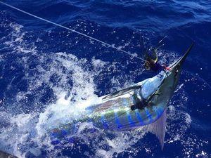 Marlin Bleu (Atlantic) — Jean-philippe Salducci