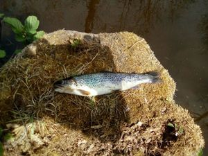 Brown Trout — Thibaud Cara