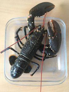 European Lobster — Julien PAYRAT