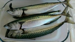 Mackerel — Mick Salaun