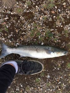 Thicklip Grey Mullet — Korentin Carpentier