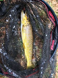 Brown Trout — Benjamin GRAND