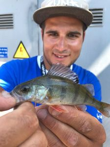 European Perch — Roy Bodeving
