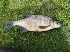 Common Bream — Nico Raplapla