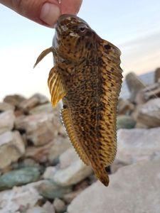 Tompot Blenny — Ben Benito Rockfishing