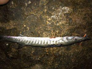 Barracuda — Philippe Attias