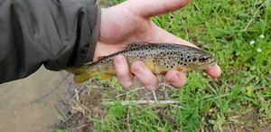 Brown Trout — Adrien Mielle
