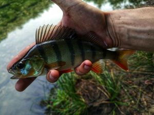 European Perch — Tony Fish