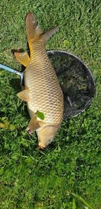 Common Carp — Raphaël Simon