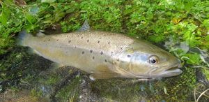 Brown Trout — Thomas Moussion