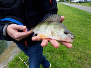 European Perch — Arno_raplapla Chauquet