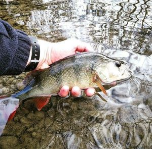 European Perch — Gatien Mismaque