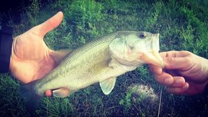 Largemouth Bass — Vincent Bourgoin