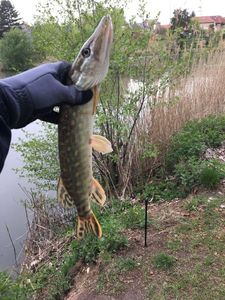 Northern Pike — Marceau Remy