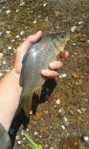 Common Carp — Kr Fishing