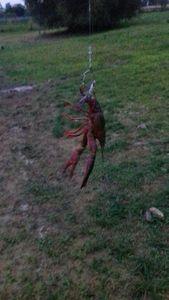 Spinycheek Crayfish — Thomass Fishing