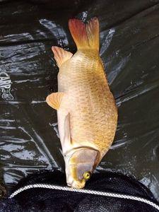 Koï Fish — Aurélien Dollé