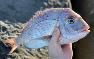 Snapper (Squirefish) — Chris Armstrong