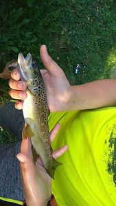 Brown Trout — Sacha Ramette