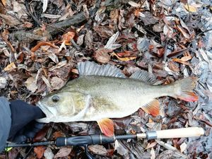 European Perch — butchy 974