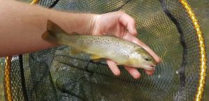 Brown Trout — Bryan Tournant