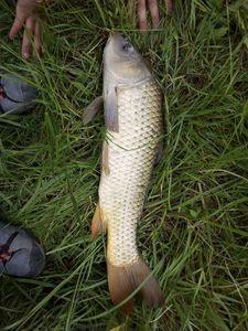 Common Carp — les pêcheur du 11 (youtube)