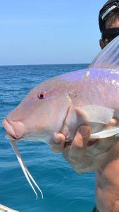 Banded Goatfish — Nicolas Xmylife