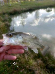Largemouth Bass — Romain Lombard