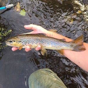 Brown Trout — Thomas Lheritier