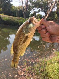 Largemouth Bass — Florian A